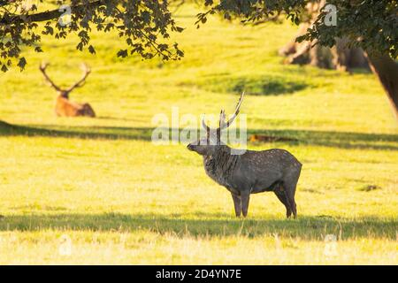 Manchurian Sika Stag, Deer at Woburn Deer Park, Woburn Bedfordshire, Autumn 2020 - Stock Photo