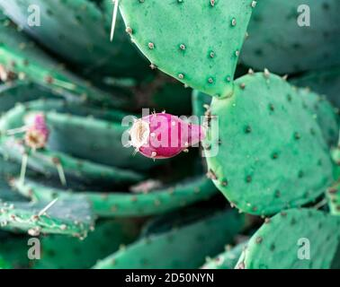 Red cactus fruit close up. Prickly pear, Opuntia. Natural background - Stock Photo