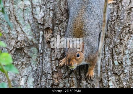 Eastern Grey Squirrel (Gray Squirrel), Sciurus carolinensis, running down a tree trunk eating an acorn in Autumn in West Sussex, England, UK. - Stock Photo