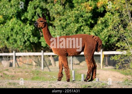 Brown Alpaca, Vicugna pacos, seen from the side, standing in a fenced pasture on the farm.
