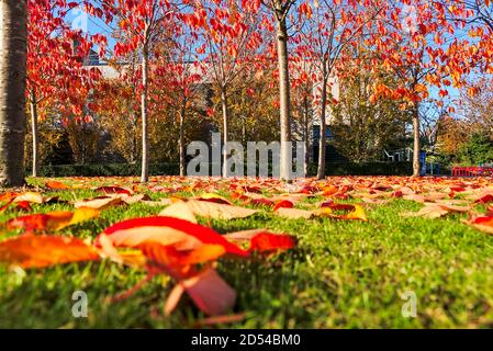 Amazing autumn cover of orange and red fallen leaves covering on grass. Background focus. Golden fall on university campus, Dublin, Ireland