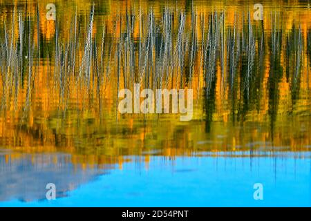 An abstract natural reflection of the fall colors on the trees on the lake shore of Talbot lake in Jasper National Park in Alberta Canada.