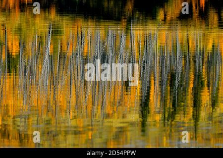 A natural reflection of an abstract image of the trees along the shore of Talbot lake in Jasper National Park in Alberta Canada.