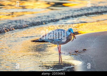 Deutschland, Schleswig-Holstein, Ostseeküste. Sonnenaufgang am Timmendorfer Strand. Möwe mit ihrem Fang am Strand. - Stock Photo
