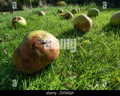 A ground level view of windfall apples lying on grass highlighted in the sunshine - Stock Photo