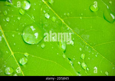 Closeup dew drops on leaves in the morning sunlight and green environment. Water droplets come from the rain on the leaves. The concept of beauty and Stock Photo
