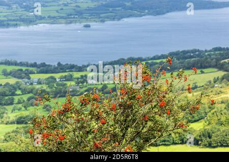 Views over Lough Derg from Tountinna, Tonn Toinne, with a rowan tree, Sorbus aucuparia, bearing red berries, in the Arra Mountains on the Lough Derg w