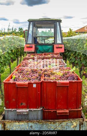 Old tractor trailer full of various grapes harvested in vineyard during grape harvest season.Detail of sweet organic juicy grapevine in autumn. Grapes - Stock Photo