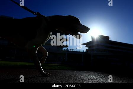 Hounds in the parade ring before the first race during day one of the November Meeting at Cheltenham Racecourse, Cheltenham Stock Photo