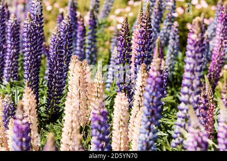 New Zealand, South Island, Omarama, Russell lupins, Lupinus polyphyllus