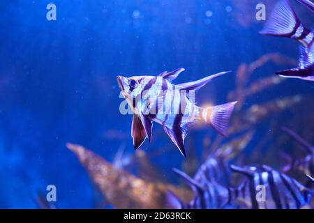 Old Wife (Enoplosus armatus) A black and white striped fish with a small head and long fins on top swimming in aquarium