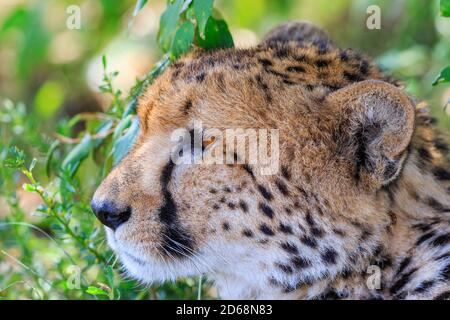 Beautiful Cheetah close up in the shadow looking at something
