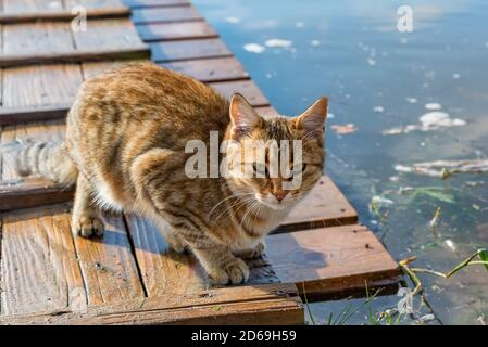 Cute adult red tabby cat hunting outdoors Stock Photo