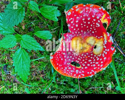 Red poisonous mushrooms in a beautiful forest.