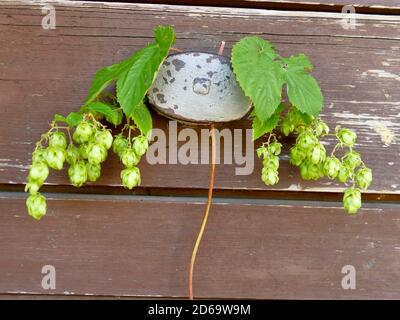 hops with ripe cones in summer. - Stock Photo