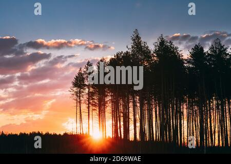 Sunset Sunrise In Pine Forest. Sun Sunshine In Sunny Spring Coniferous Forest. Sunlight Sun Rays Shine Through Woods In Landscape Bright Colorful