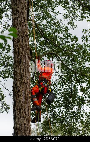 Denham, UK. 15th October, 2020. A tree cutter high up in a mature tree inside an HS2 compound. The tree is on the other side of a high security fence next to the Denham Ford Protection Camp where environmental campaigners are living high in the trees protecting them from the clutches of HS2. The HS2 construction for the controversial High Speed Rail from London to Birmingham raises great concerns for environmental activists due to the detrimental impact the project is having on the countryside and woodlands. Credit: Maureen McLean/Alamy - Stock Photo