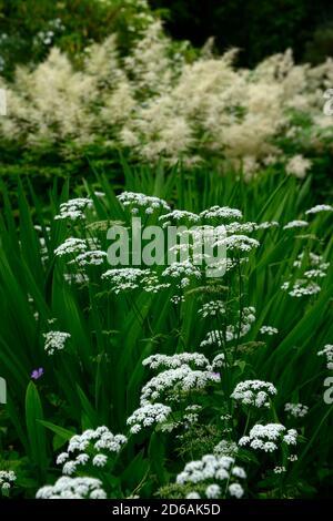 ammi majus,queen anne's lace,flowers,flower,flowering,white,mix,mixed,combination,crocosmia,aruncus,mixed planting scheme,RM Floral Stock Photo