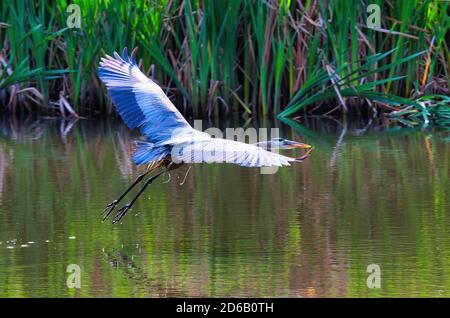 Majestic blue heron flying low over a pond, with out stretched wings, looking for food. - Stock Photo