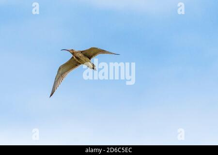 A Curlew Numenius arquata in flight. - Stock Photo