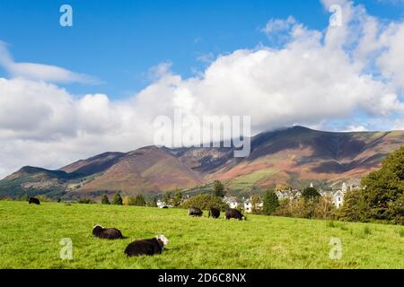 Herdwick sheep grazing with town beyond below Skidaw in Lake District National Park  from Crow Park, Keswick, Cumbria, England, UK, Britain