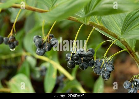 Polygonatum Odoratum (Silver Wings) with late summer berries and foliage - Stock Photo