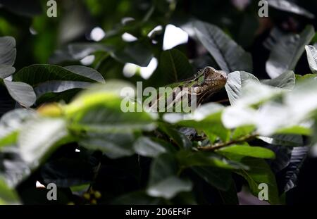 Valencia, Carabobo, Venezuela. 16th Oct, 2020. October 16, 2020. A green iguana, better known as the common iguana, belonging to the iguanidae family, rest on a bush. In Valencia, Carabobo, Venezuela - Photo: Juan Carlos Hernandez Credit: Juan Carlos Hernandez/ZUMA Wire/Alamy Live News - Stock Photo