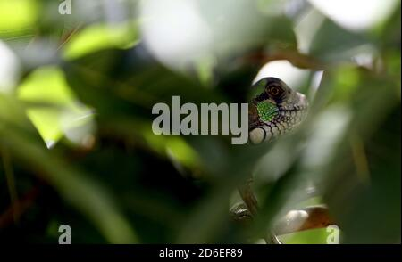 Valencia, Carabobo, Venezuela. 16th Oct, 2020. Caption:October 16, 2020.A green iguana, better known as the common iguana, which belongs to the iguanidae family, rests among the branches of a bush. In Valencia, Carabobo, Venezuela - Photo: Juan Carlos Hernandez Credit: Juan Carlos Hernandez/ZUMA Wire/Alamy Live News - Stock Photo
