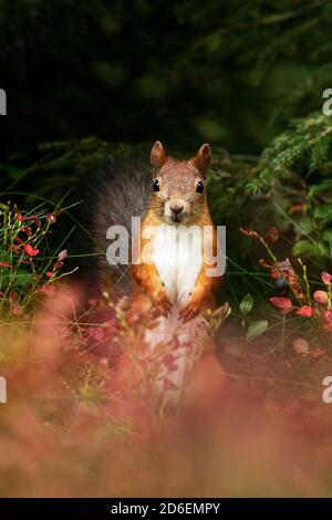 Adorable Red squirrel (Sciurus vulgaris) standing in the middle of autumn foliage during a fall season in Estonian boreal forest, Northern Europe.
