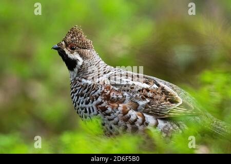 A male Hazel grouse (Tetrastes bonasia) with a raised crest feathers in a green, lush and old boreal forest during spring breeding season in Estonia,