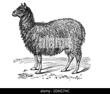 The alpaca (Vicugna pacos) is a species of South American camelid mammal often confused with, the llama. However, alpacas noticeably smaller than llamas are kept in herds that graze on the level heights of the Andes. They were bred specifically for their fiber used for making knitted and woven items, similar to sheep's wool.