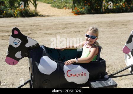 Cow ride at Fall Festival at Underwood Farms, Moorpark, California, USA