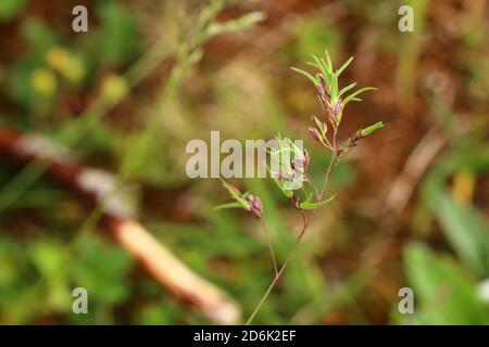 Young shoots of Poa bulbosa, bulbous meadow-grass, growing from the spike. - Stock Photo