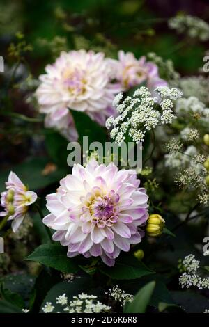 Dahlia Victoria Ann,white lilac flowers,flower,flowering,orlaya grandiflora,White lace flower,umbellifer,mix,mixed planting shceme,perrenials,annuals, - Stock Photo