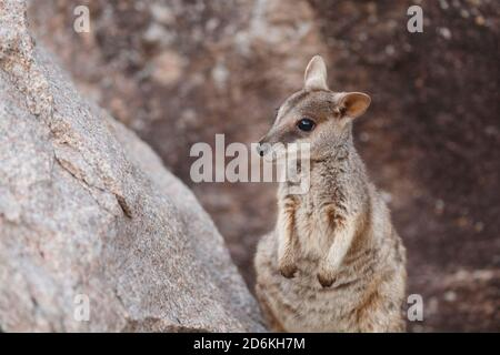 Allied Rock Wallaby (Petrogale assimilis) at Magnetic Island's Geoffrey Bay, Queensland, Australia - Stock Photo