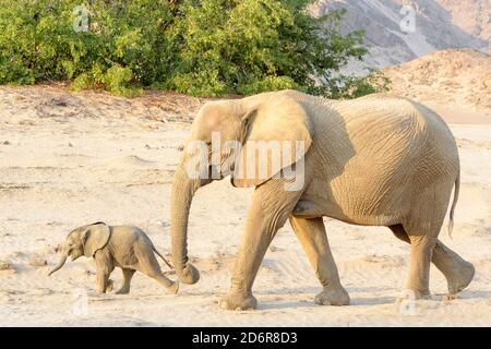 African Elephant (Loxodonta africana), desert-adapted elephant mother with calf, walking in dry riverbed, Hoanib desert, Kaokoland, Namibia. - Stock Photo