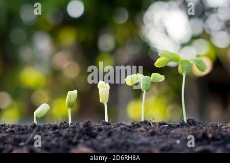 Saplings are growing from fertile soil, including the evolution of plant growth from seeds to saplings. Concept of ecology and agriculture.