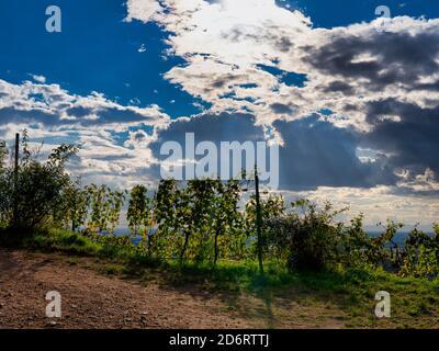 Weinreben im Sonnenlicht - Stock Photo