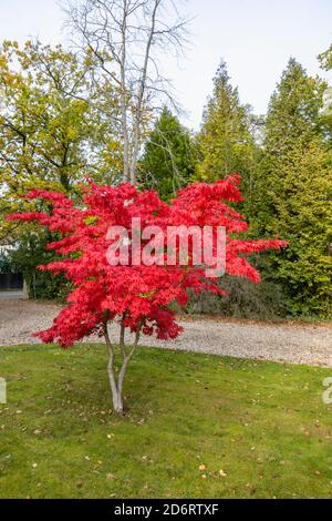 A lone Japanese maple (Acer palmatum) tree in crimson red autumn colours growing in the front garden of a suburban house in Surrey, south-east England - Stock Photo