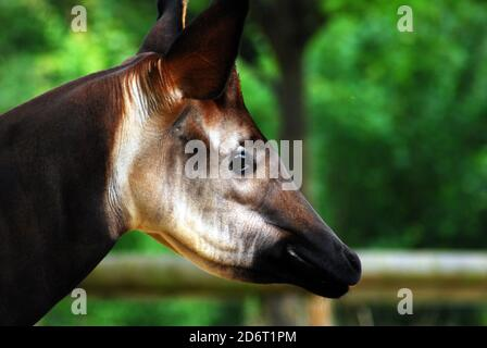 Close-up head and neck of an Okapi (Okapia johnstoni) This endangered species isalso known as the Forest Giraffe, Congolese Giraffe, or Zebra Giraffe - Stock Photo