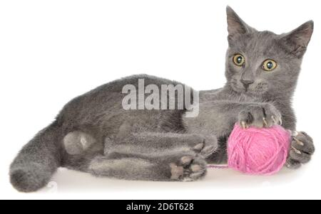 Cute gray shorthair kitten lie and plays with ball of yarn isolated on white background. - Stock Photo