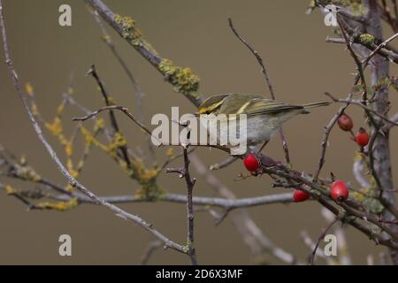 Pallas`s Warbler feeding in the bushes at Thornham. - Stock Photo