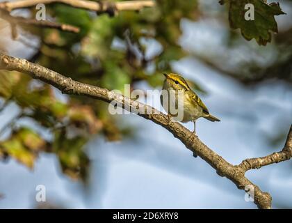 Pallas's leaf warbler Phylloscopus proregulus feeding in the tree canopy eratically - Stock Photo