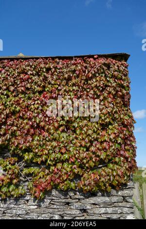 Virginia Creeper Climbing Plant Foliage ( Parthenocissus tricuspidata ) in Autumn  or Fall on a Building Wall, UK