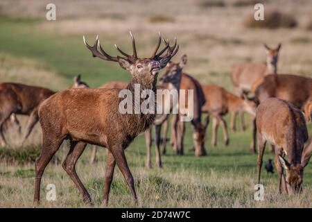 Rutting Season in Richmond Park, Southwest London, England, UK. 20th Oct, 2020. Dominent red deer male keep watch over it's herd during the rutting season in Richmond Park, home to over 1,000 free roaming red and fallow deer during the rut. Credit: Jeff Gilbert/Alamy Live News