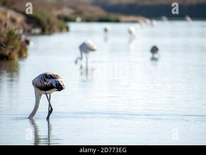 Group of greater Flamingos feeding in shallow water. Phoenicopterus Ruber feeds in shallow water. Wild flamingo in Salt pan in Lo Pagan, Spain - Stock Photo