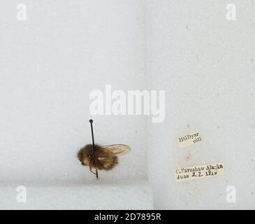 Cape Fanshaw, Hoonah-Angoon, Alaska, United States, Bombus (Pyrobombus) sitkensis Nylander, Animalia, Arthropoda, Insecta, Hymenoptera, Apidae, Apinae