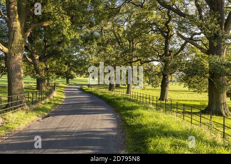 Evening light on an avenue of old oak trees beside a lane between the Cotswold villages of Stanton and Stanway Gloucestershire UK