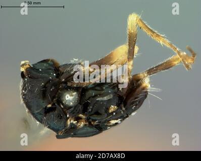 Muir Inlet, Hoonah-Angoon, Alaska, United States, Elachistus glacialis Ashmead, 1902, Animalia, Arthropoda, Insecta, Hymenoptera, Eulophidae
