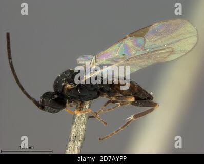 Muir Inlet, Hoonah-Angoon, Alaska, United States, Protapanteles glacialis Ashmead, Animalia, Arthropoda, Insecta, Hymenoptera, Braconidae